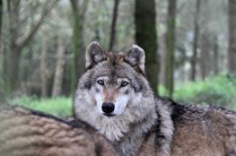 Loups refuge de Coat Fur
